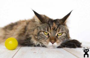 agresif kedi